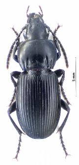 Pterostichus melas (Creutzer, 1799)