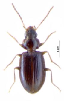 Ocys quinquestriatus (Gyllenhal, 1810)