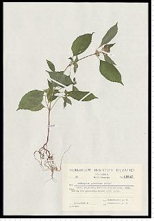 Galeopsis pubescens Besser