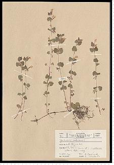 Glechoma hederacea L.