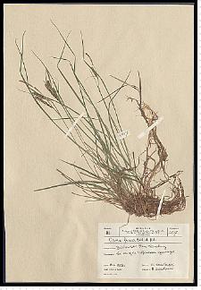 Carex nigra Reichard