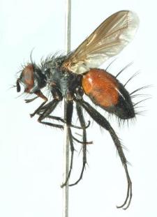 Eriothrix rufomaculatus (De Geer, 1776)