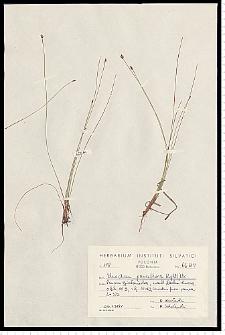 Eleocharis quinqueflora (Hartmann) O. Schwarz