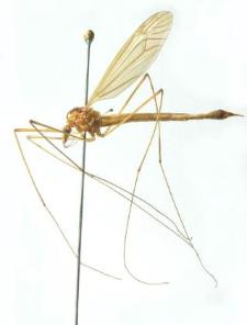Nephrotoma quadrifaria (Meigen, 1804)