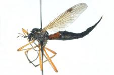 Tanyptera atrata (Linnaeus, 1758)