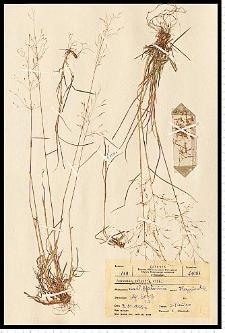 Agrostis capillaris L.