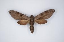 Hyloicus pinastri