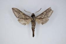 Hoplistopus penricei