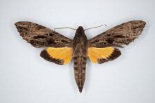 Isognathus leachii