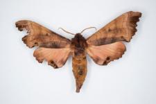 Marumba gaschkewitschii