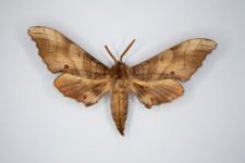 Marumba sperchius