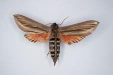 Phryxus caicus