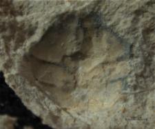 Goniodromites narinosus