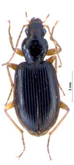 Paranchus albipes (Fabricius, 1796)
