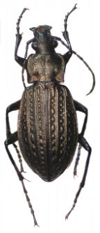 Carabus granulatus (Linnaeus, 1758)