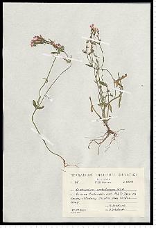 Centaurium erythraea Rafn subsp. erythraea