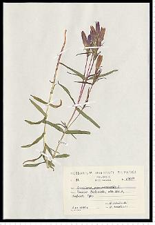 Gentiana pneumonanthe L.