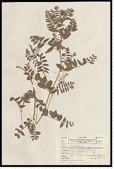 Vicia cassubica L.