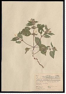 Galeopsis speciosa Mill.