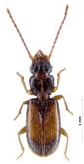 Perileptus areolatus (Creutzer, 1799)