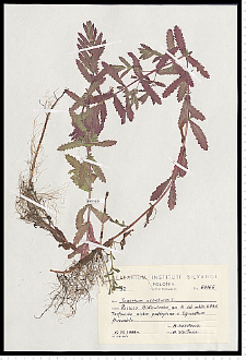 Teucrium scordium L.