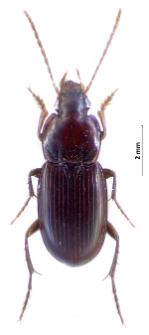 Platyderus rufus (Duftschmid, 1812)