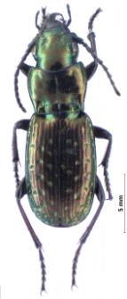 Pterostichus pilosus (Host, 1790)