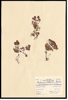 Thymus serpyllum L. em. Fr.