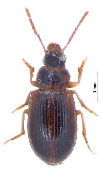 Bradycellus csikii (Laczó, 1912)