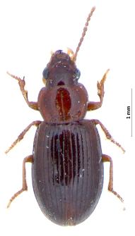 Bradycellus caucasicus (Chaudoir, 1846a)