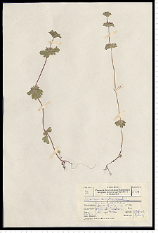 Lamium amplexicaule L.