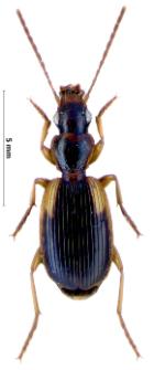 Cymindis humeralis (Geoffroy, 1785)
