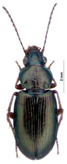 Pogonus chalceus (Marsham, 1802)