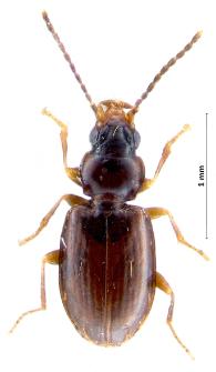 Tachys bistriatus (Duftschmid, 1812)