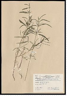 Dracocephalum ruyschiana L.