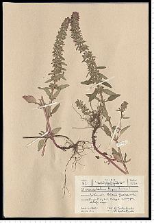 Dracocephalum thymiflorum L.