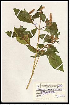 Elsholtzia ciliata (Thunb.) Hyl.