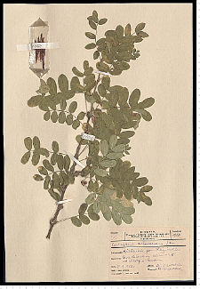 Caragana arborescens Lam.