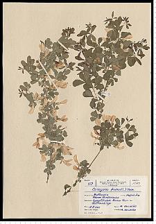 Caragana frutex (L.) K. Koch