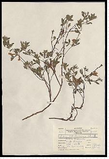 Cytisus ratisbonensis Schaeff.
