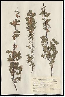 Chamaecytisus ruthenicus (Fisch. ex Woł.) Klásk.