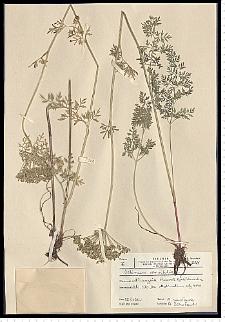 Selinum carvifolia (L.) L.