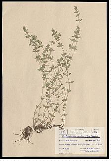 Acinos arvensis (Lam.) Dandy