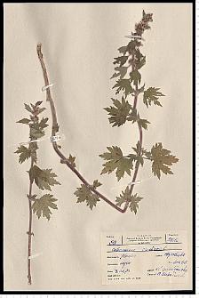 Leonurus cardiaca L.