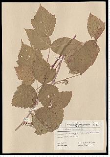 Rubus caesius L.