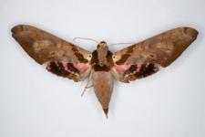 Adhemarius gannascus