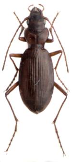 Nebria tatrica (L. Miller, 1859)