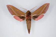 Deilephila elpenor