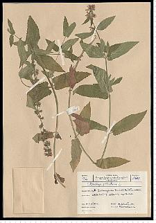Stachys palustris L.