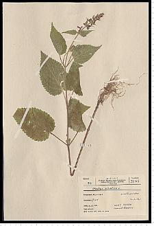 Stachys sylvatica L.
